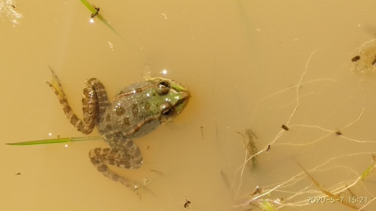 Une grenouille verte qui flotte.