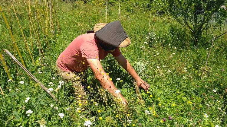 Récolte de fèves parmi les herbes sauvages - Agriculture Naturelle.