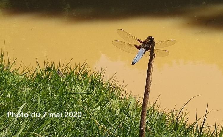 Une libellule déprimée posée sur un morceau de bois.