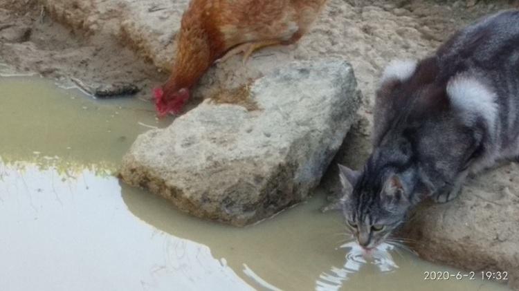 Un chat et une poule qui boivent ensemble à la mare.