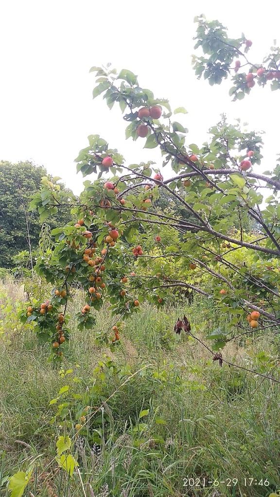 Abricots sur les branches d'un abricotier en agriculture naturelle.