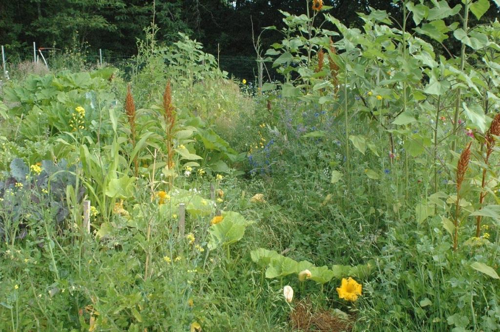 Légumes dans un verger en Agriculture Naturelle : potirons, pâtissons, amarantes, choux, tournesols.