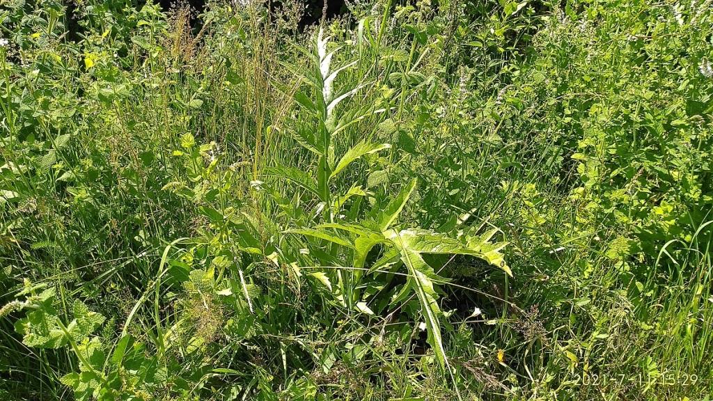 Jeune pied d'artichaut en Agriculture Naturelle.