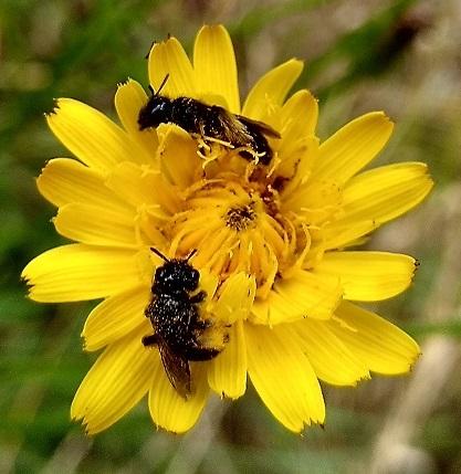 Abeilles sauvages butinant une fleur sauvage - Agriculture Naturelle.
