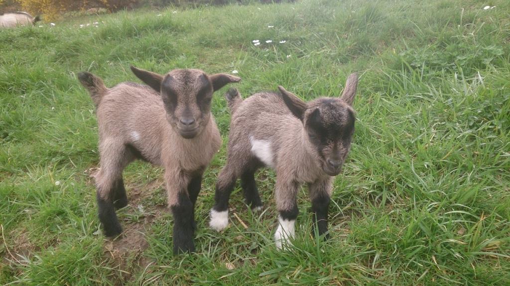 Deux chevreaux très jeunes - Agriculture Naturelle.